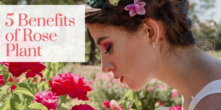 rose plant benefits, rose plant flower uses, benefits of rose plants