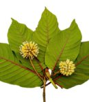 Kratom Strains for Energy